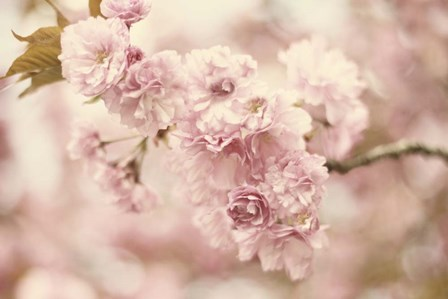 Cherry Blossoms by Jessica Jenney art print