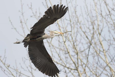 Great Blue Heron, flying back to nest with a stick by Jamie & Judy Wild / Danita Delimont art print