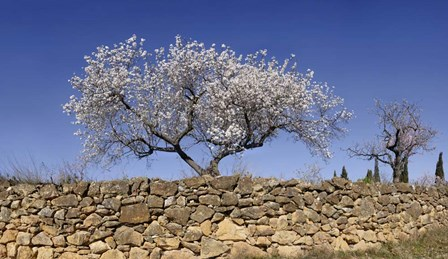 Almond Blossom, Vinaros, Spain by Panoramic Images art print