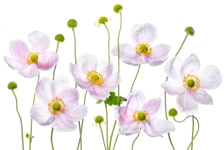 Japanese Anemones by Mandy Disher art print