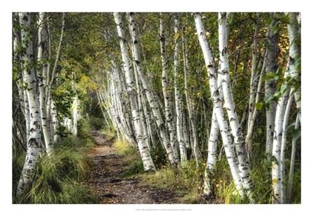 A Walk Through the Birch Trees by Danny Head art print