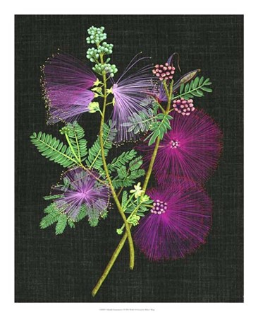 Calliandra Surinamensis I by Melissa Wang art print