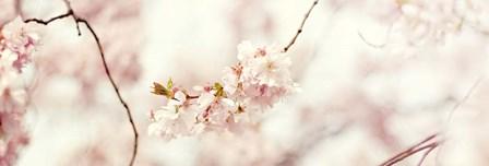 Cherry Blossom by Sarah Gardner art print