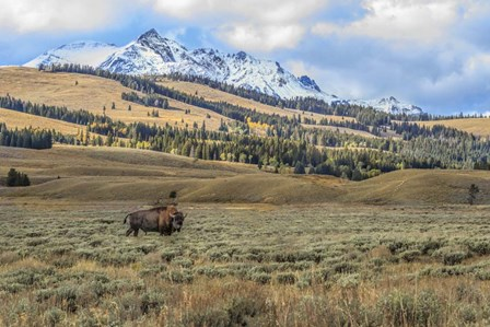 Bison By Electric Peak (YNP) by Galloimages Online art print