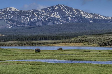 Bison By River by Galloimages Online art print