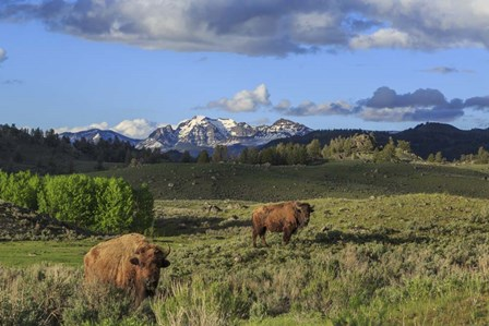 Bison With Mountains (YNP) by Galloimages Online art print