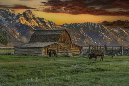 Moulton Barn At Sunrise With Bison by Galloimages Online art print
