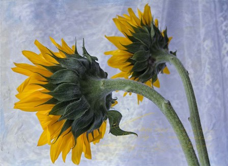 Two Sunflowers by Bob Rouse art print