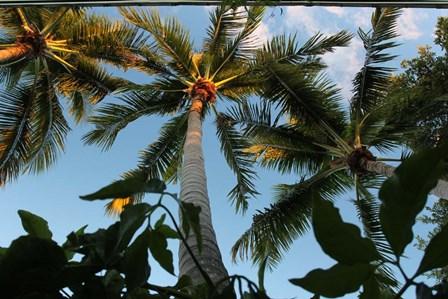 Looking Up Palms 006 by Robert Goldwitz art print
