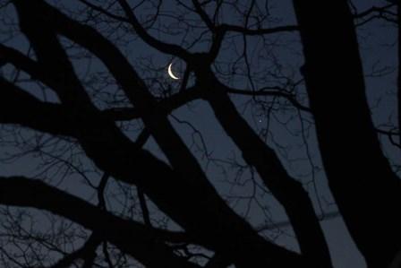 Silhouette Branches Moon Venus by Robert Goldwitz art print