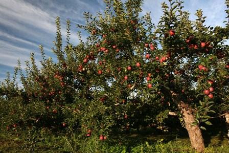 Apple Orchard Streaked Sky by Robert Goldwitz art print