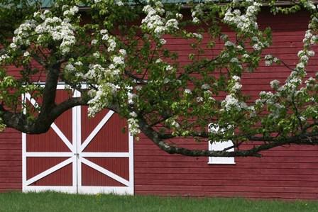 Spring Blossoms Red Barn by Robert Goldwitz art print