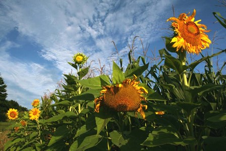 Sunflower Sky by Robert Goldwitz art print