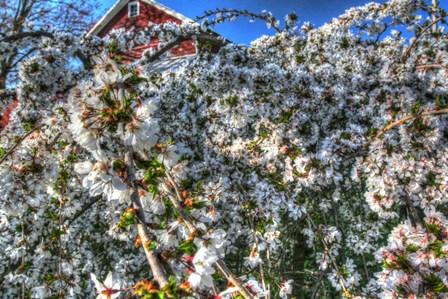 Cherry Blossom Barn by Robert Goldwitz art print