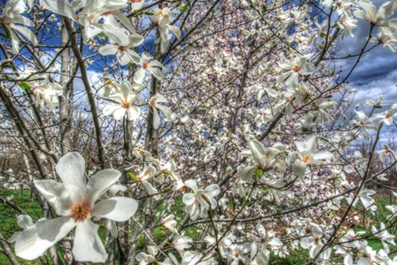 Spring Blossoms by Robert Goldwitz art print
