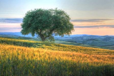 Tuscan Tree Pink Sunset by Robert Goldwitz art print