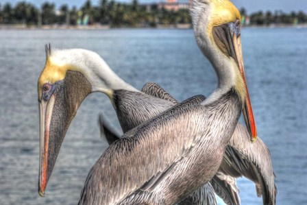 Pelicans Two by Robert Goldwitz art print