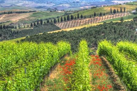 Tuscan Wine Rows by Robert Goldwitz art print