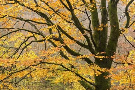 Dartmoor Gold by Adam Burton art print