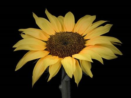 Sunflower by Assaf Frank art print