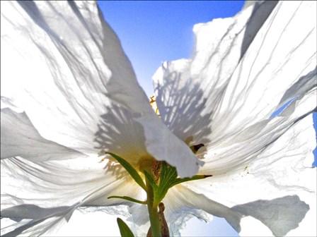 White Poppy In The Sun by Joe Felzman Photography art print