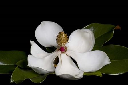 Magnolia by Lori Hutchison art print