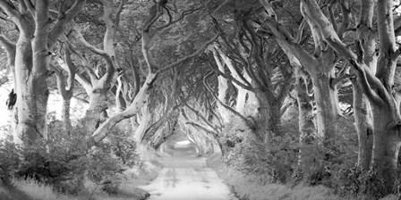 The Dark Hedges, Ireland (BW) by Pangea Images art print