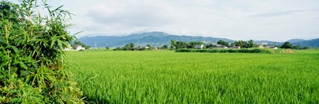 Rice Field at Sunrise, Kyushu, Japan by Panoramic Images art print