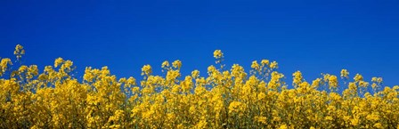 Rape Field in Bloom under Blue Sky by Panoramic Images art print