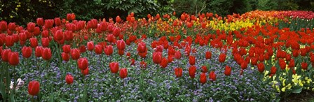 Tulips Blooming in St. James's Park, London, England by Panoramic Images art print