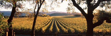 Vines in Far Niente Winery, Napa Valley, California by Panoramic Images art print
