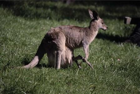 Kangaroo 1 by Robert K. Jones art print