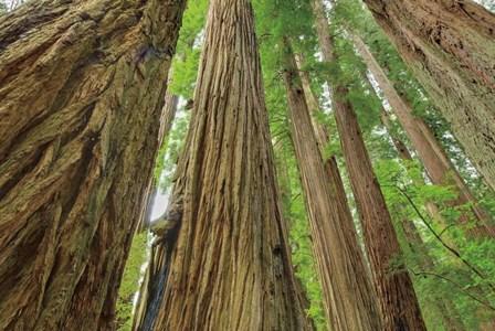 Redwoods Forest IV by Alan Majchrowicz art print