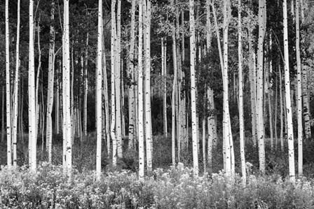 Colorado Aspen BW by Michael Blanchette Photography art print