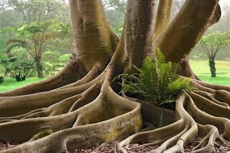 Roots Sarasots Big Tree by Mike Jones Photo art print