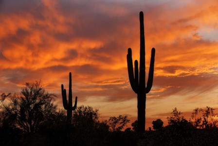 Saguaros Amazing Sunset by Mike Jones Photo art print