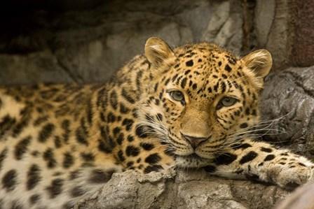 Denver Zoo Snow Leopard by Mike Jones Photo art print
