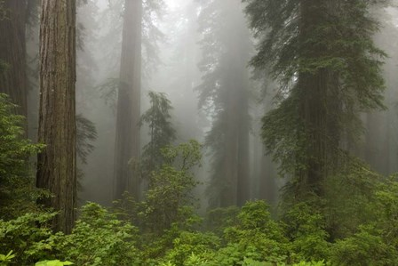 Redwoods NP Fog by Mike Jones Photo art print