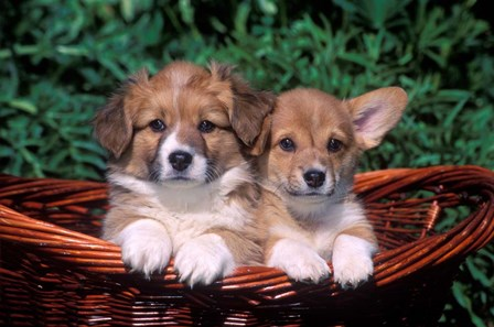 Two Welsh Corgi Puppies In Basket by Vintage PI art print