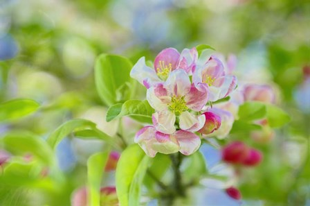 Apple Blossom by Cora Niele art print