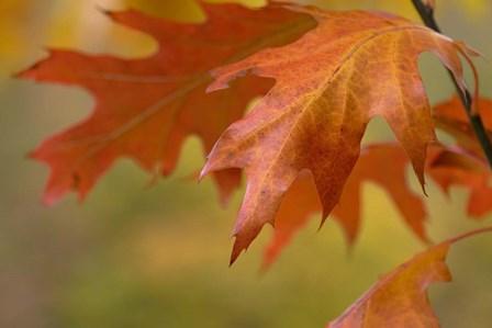 Autumn American Oak Leaves by Cora Niele art print