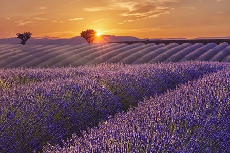 Lavender Field at Sunset by Cora Niele art print