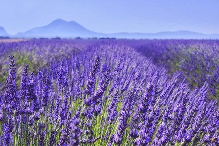 Lavender Field Close Up by Cora Niele art print