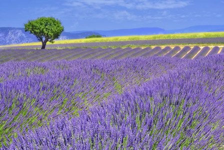 Lavender Fields with Tree by Cora Niele art print