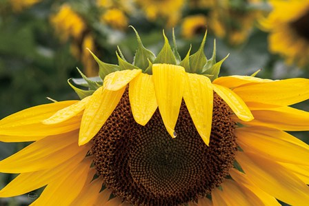 Sunflower by Brookview Studio art print