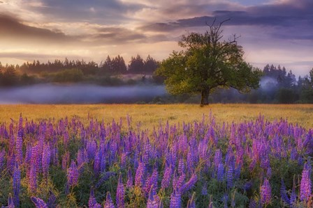 Lupine Sunrise by Darren White Photography art print