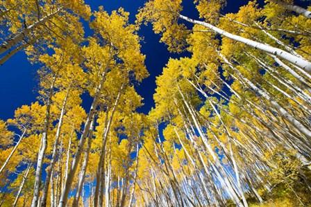Aspen Tree Tops in Maroon Bells, Aspen, Colorado by Panoramic Images art print