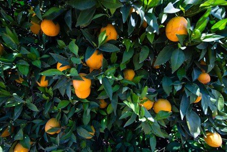 Oranges Growing on a Tree, California by Panoramic Images art print