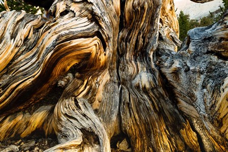 Close-Up of Pine tree, Ancient Bristlecone Pine Forest, White Mountains, California by Panoramic Images art print