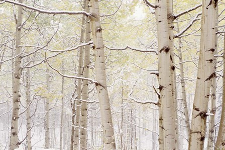 Autumn Aspens With Snow, Colorado by Panoramic Images art print